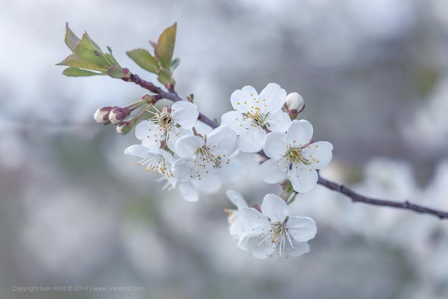 cherry_flowers