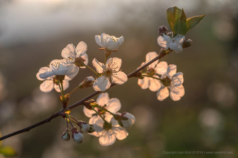 cherry_flowers2