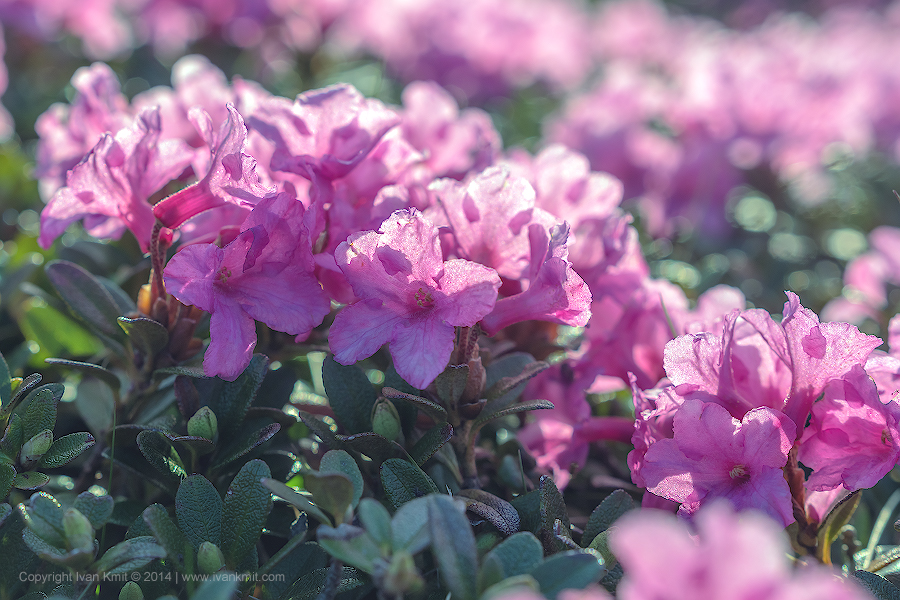 rhododendron27